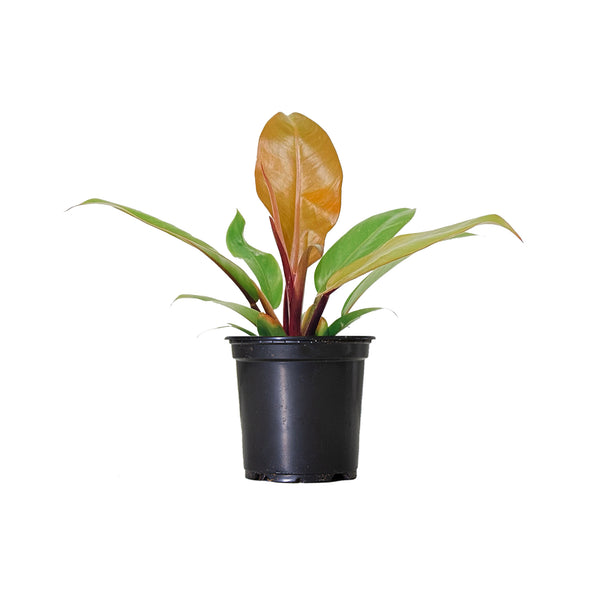 Philodendron Prince of Orange - Small / Grow