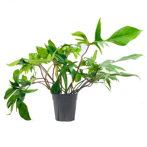 Philodendron Florida Green - Large / Grow