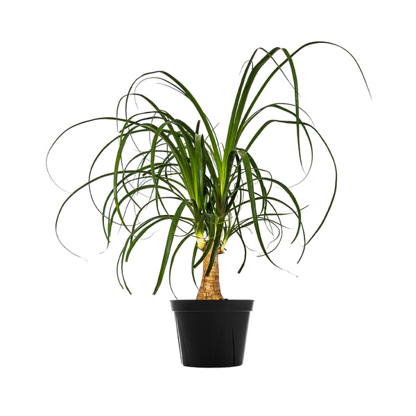Ponytail Palm - Large / Grow