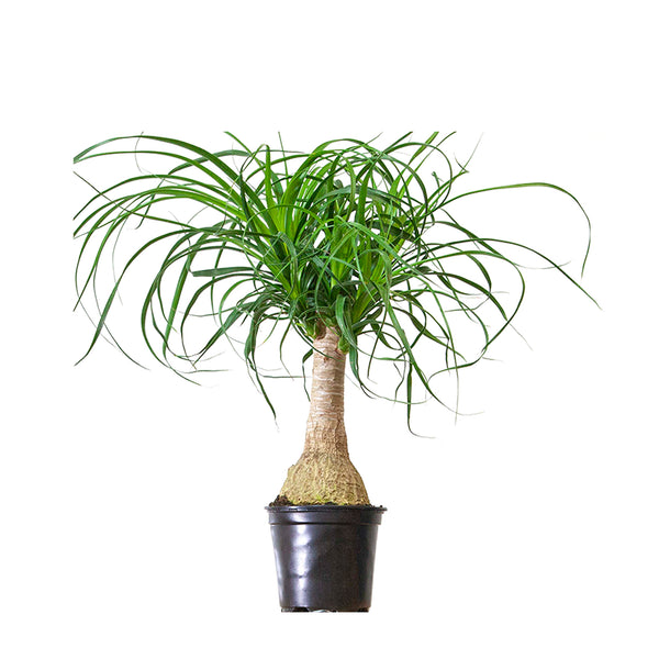 Ponytail Palm - Small / Grow