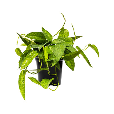Pothos Cebu Blue