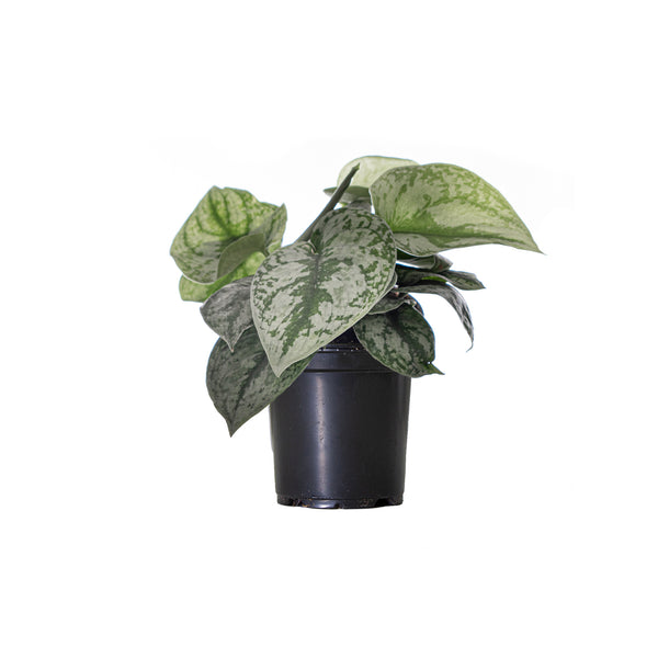 Pothos Silver Satin - Small / Grow