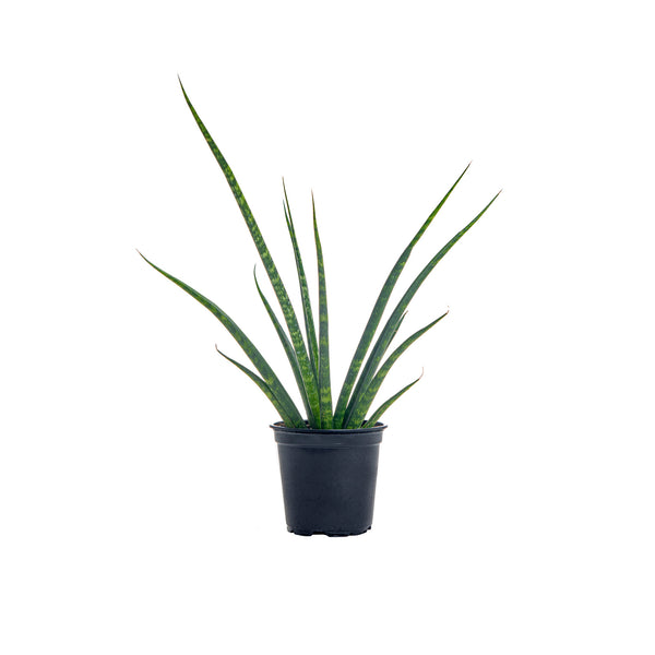 Sansevieria Fernwood 'Natural' - Small / Grow