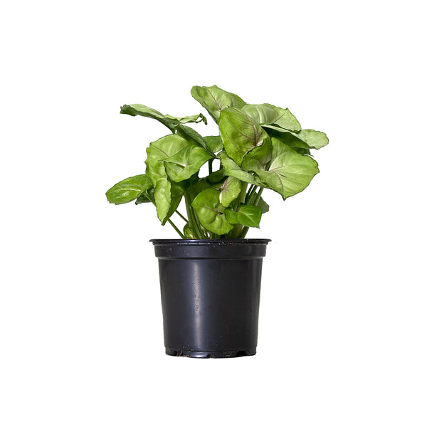 Syngonium Bold Allusion - Small / Grow