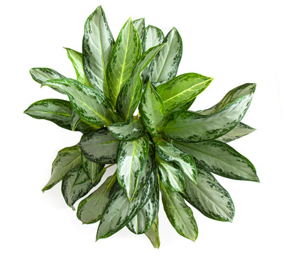 Extra Large Chinese Evergreen Golden Bay