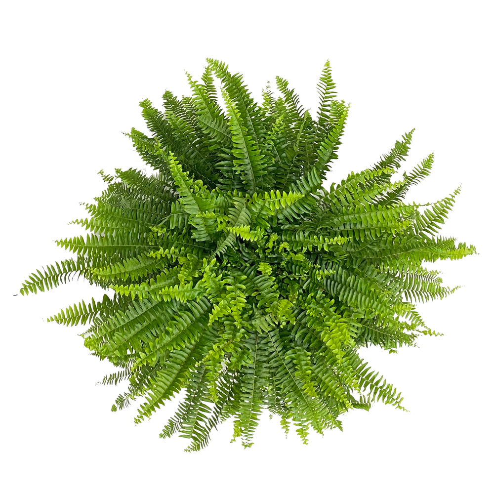 Boston Fern Extra Large