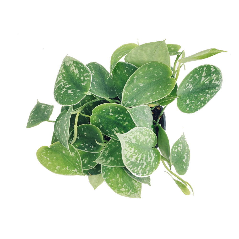 Small Silvery Anne Pothos