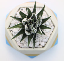 Load image into Gallery viewer, Blue/Gold Geometric Concrete Planter with Haworthia