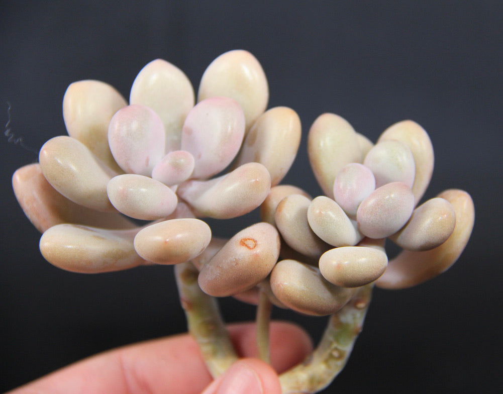 Graptopetalum Amethystinium (purple pebbles)