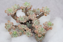Load image into Gallery viewer, Sedum Clavatum