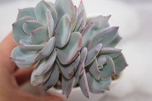 Load image into Gallery viewer, Echeveria sp. Hakuhou (mature and tree like)