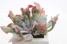 Load image into Gallery viewer, Echeveria Pinky cv Trumpet