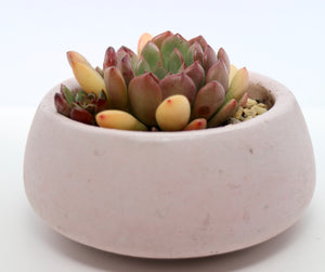 Round Concrete Planter with Korean Succulent.