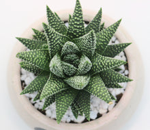 Load image into Gallery viewer, Round Concrete Planter with Haworthia
