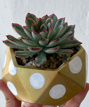 Load image into Gallery viewer, Gold with Polkadot - Round Concrete Planter with Echeveria.