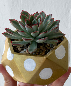 Gold with Polkadot - Round Concrete Planter with Echeveria.