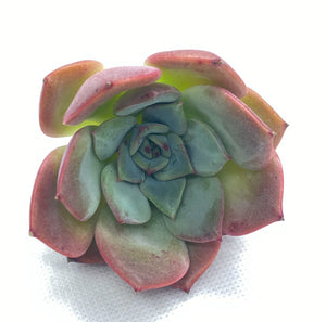 Rare Korean Succulent - E. Salmon