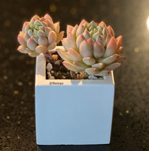 Load image into Gallery viewer, Square Planter with Korean Succulent.