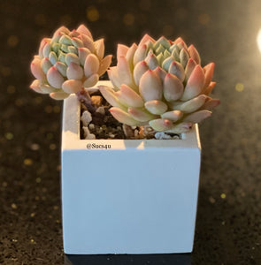 Square Planter with Korean Succulent.