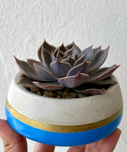 Blue/Gold Round Concrete Planter with Echeveria.