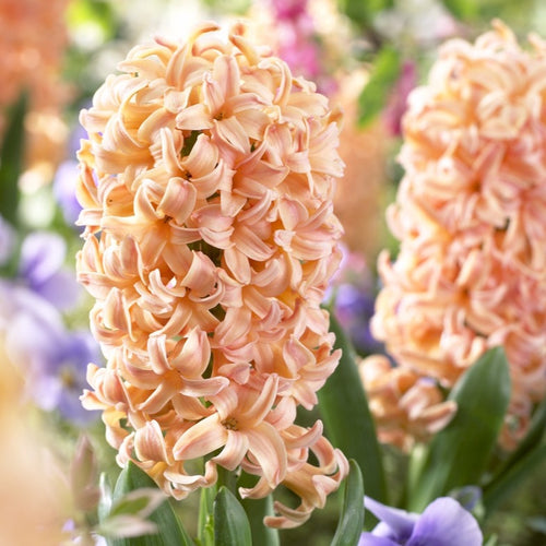 Hyacinth Bulbs (20)  - Hyacinthus Orientalis 'Gypsy Queen' - Large Peach Colored Hyacinth Bulbs