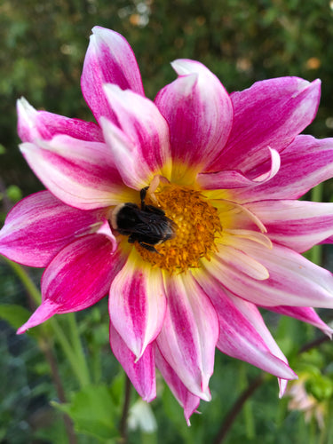 Our Dahlia Seed - Quality Hybrid Flower Seed