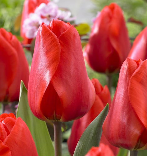 tulip bulbs for sale near me