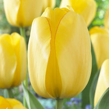Load image into Gallery viewer, yellow tulip bulbs from holland