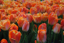 Load image into Gallery viewer, peach tulip bulbs