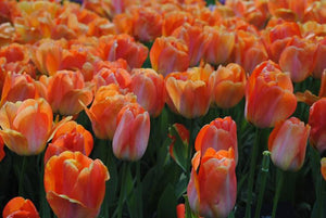 peach tulip bulbs