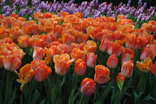 Load image into Gallery viewer, unique large tulip bulbs
