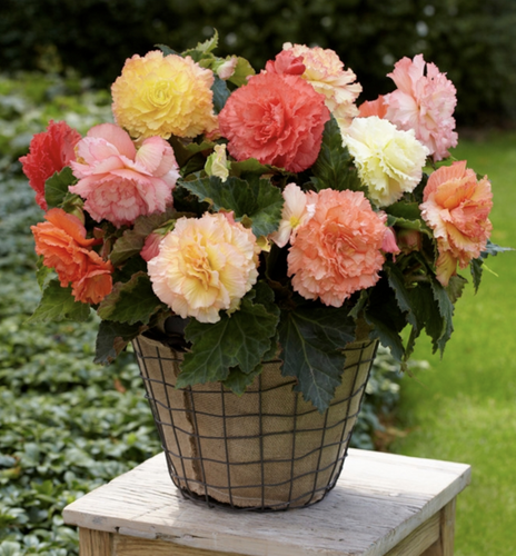 Begonia Bulbs - Samba Pastel Mix (10 bulbs)