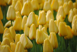 quality large tulip bulbs in yellow