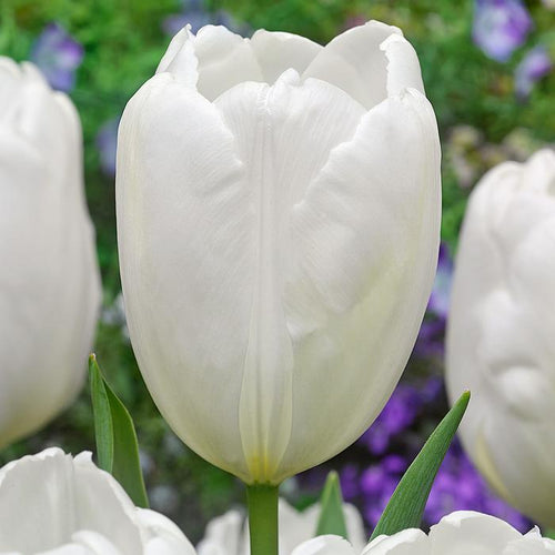 White Large Dutch Tulip Bulbs in Bulk