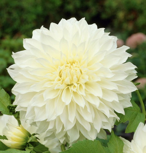 Fleurel Dahlia Bulbs - Dahlia Tubers (Set of 3)