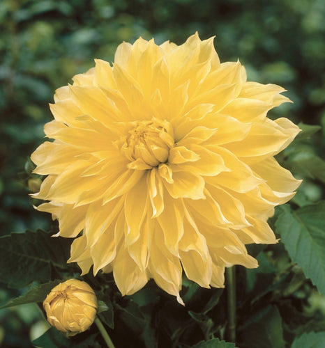Kelvin Floodlight Yellow Dahlia Bulbs - Dahlia Tubers (Set of 3)