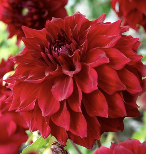 mingus alex red dinnerplate dahlia