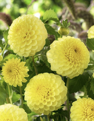 Golden Torch Yellow Ball Dahlia