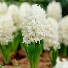 Load image into Gallery viewer, white hyacinth flowers - bulbs for sale