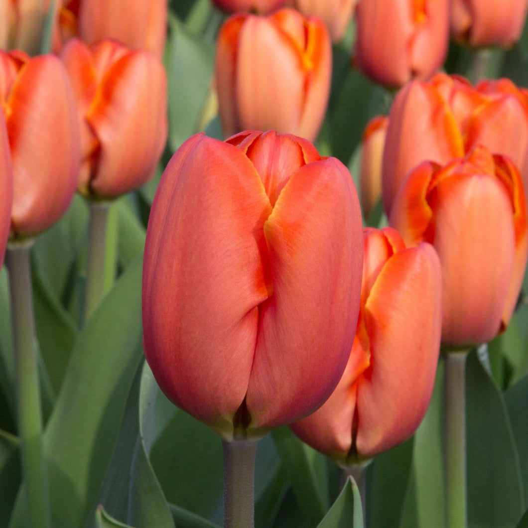 Tulips Peach and Melon for Sale