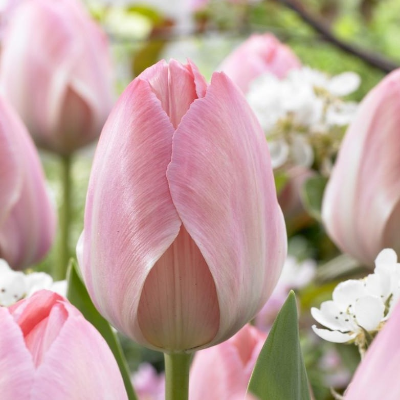 Pink Tulip Bulbs
