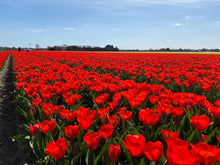 Load image into Gallery viewer, planting tulips