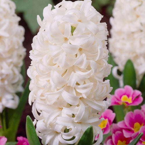 White hyacinth fall bulbs