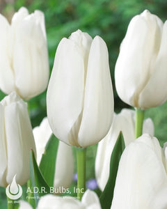 Large Darwin white Tulips Tulipa