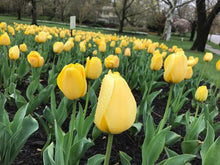 Load image into Gallery viewer, bulk yellow tulips for planting in fall