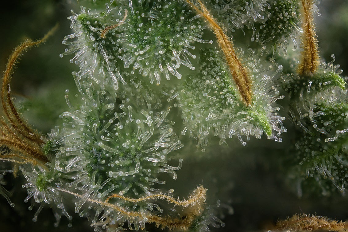 Cannabis terpenes and the immune system