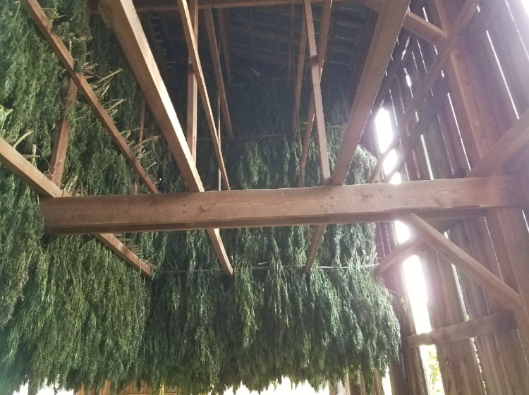 Ananda Hemp 2018 harvest hanging up to dry in Kentucky