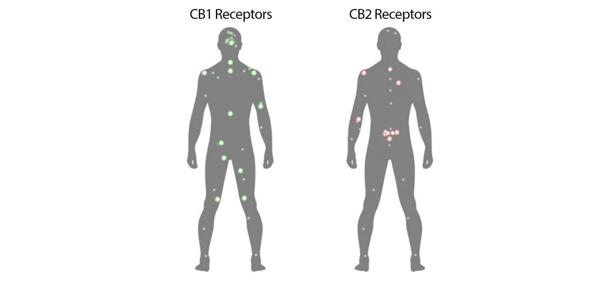 The function of the endocannabinoid system