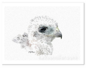 Portrait drawing of a coopers hawk chick by award winning artist Kathie Miller.