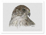 Portrait drawing of a coopershawk by award winning artist Kathie Miller